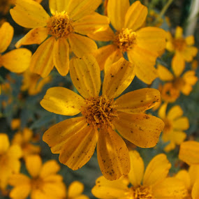 Orange Flowers by Jacob Woolwine - Novices Only Flowers & Plants ( pedals, jacob, flower )