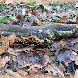 fungi on fallen branch by Caroline Beaumont - Nature Up Close Mushrooms & Fungi ( bracket fungus, fungi, forest floor, leaves, woods )
