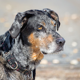 Catahoula by Dave Lipchen - Animals - Dogs Portraits ( catahoula )