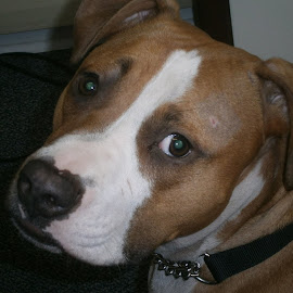 Bodhi chilling at office by Joe Abruscato - Animals - Dogs Portraits ( playful, pitbull, cute, dog )