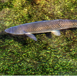 by Sajal Goswami - Animals Fish