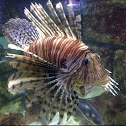 Lyonfish