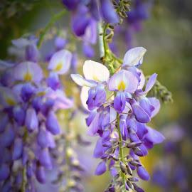 Purple Wisteria by Rhonda Kay - Flowers Flowers in the Wild