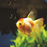 Variety Of Goldfish APK Image