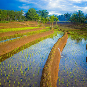 by Rahmad Himawan - Landscapes Prairies, Meadows & Fields ( water, reflection, rice, nature, landscape )