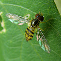Syrphid Fly - Hoverfly