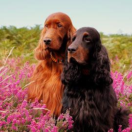Rohan & Misty by Ken Jarvis - Animals - Dogs Portraits ( gordon setter, irish setter, irish )