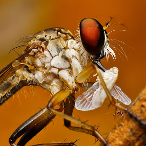 Robberfly by Oren Kaler - Animals Insects & Spiders ( nature )