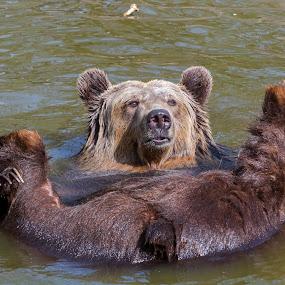 Spring Bear Bath  by Lajos E - Animals Other Mammals ( hedonism, bear, ursid, water, pleasure, supine, enjoy, arctos, predator, carnivore, european, pool, comfort, bath, brown, ursus, rest, pond, ursidae, lie,  )
