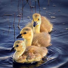 Brothers by Otto Mercik - Animals Birds (  )