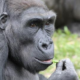 Gorilla by Ralph Harvey - Animals Other Mammals ( gorilla, wildlife, ralph harvey, bristol zoo, animal )
