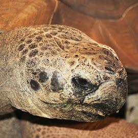 Tortoise Profile by Victoria Fenton - Animals Reptiles ( tortoise, zoo, brown, reptile, smile, turtle, portrait,  )