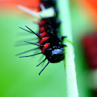 Lacewing Caterpillar