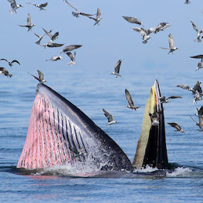 Bryde's whale III by Sasi- Smit - Animals Other
