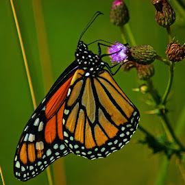 Monarch Butterfly by Rick Roesner - Animals Insects & Spiders
