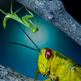 Mantid and Grasshopper by Jun Santos - Animals Insects & Spiders