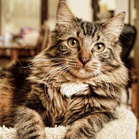 Friend's Cat by Yamin Tedja - Animals - Cats Portraits ( face, cat, cute, serious, portrait,  )