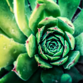 Green Goodness by Jodie Lindbo - Nature Up Close Other plants ( plant, hens and chicks, water drops, catcus, color )