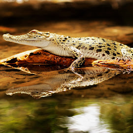 Crocodile On Reflection by Agustinus Tri Mulyadi - Animals Amphibians ( animal,  )