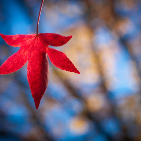 Red Fall (Autumn) Leaf by Joe Boyle - Nature Up Close Leaves & Grasses