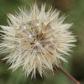 Wild small stars by Giovanna Pagliai - Flowers Flowers in the Wild ( wild, stars, seeds, flowers, similar )