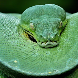 (GTP Green Tree Python). by Yan Hidayat  - Animals Reptiles