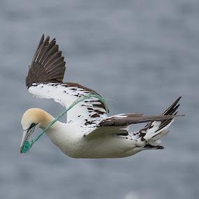 young gannet by Charlie Davidson - Animals Birds ( scotland, nature, seabird, birds, animal )