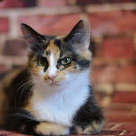 Rue by Stacey Legg - Animals - Cats Portraits ( calico, cats, animals )