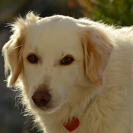 by Simona Serdiuc - Animals - Dogs Portraits ( doggie, white dog, dog portrait, dog in the sun light, dog )