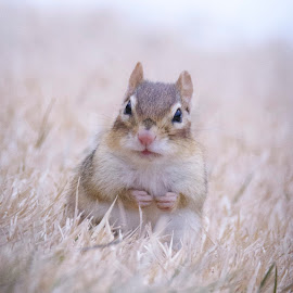 by Susan Hartman - Uncategorized All Uncategorized ( chipmunk )