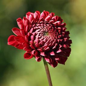 by Kathleen Whalen - Flowers Single Flower