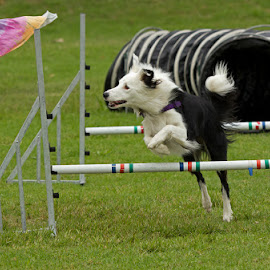 agility by Eleanor Spies - Animals - Dogs Running