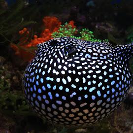Puffer Fish by Yanti Hadiwijono - Animals Fish