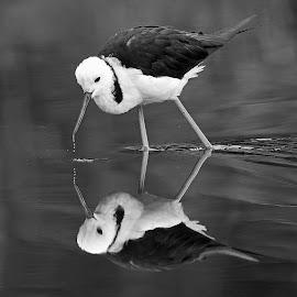 Black -winged Stilt by Anthony Goldman - Black & White Animals ( sydney, reflection, nature, bird, stilt, black -winged, b & w, wild, wildlife,  )