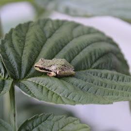 Mini Frog by Dave Denny - Animals Amphibians