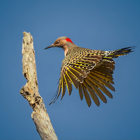 Flicker Landing by Don Holland - Animals Birds ( cherry, triangle, shiloh, small, early )