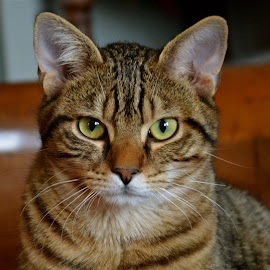 Neron by Serge Ostrogradsky - Animals - Cats Portraits