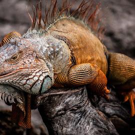 Prehistoric by Maurizio Riccio - Animals Reptiles ( scaly, nature, iguana, reptile, animal )