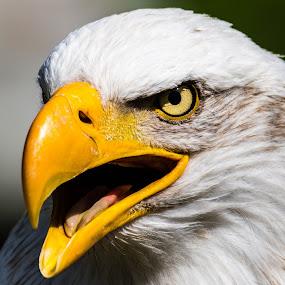 by Ralf Harimau Weinand - Animals Birds ( bird, bird of prey, weisskopfseeadler, raubvogel, nk, vogel, white bald eagle,  )