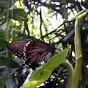 Gold Rim Swallowtail