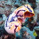 Ox Heart Ascidian
