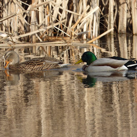 Mallards Ducks the m Loanaka Brook, N.J. by Jen Henderson - Animals Birds (  )
