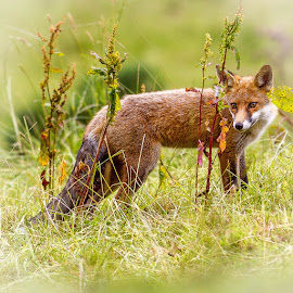 Irish fox by Terry Hanna - Animals Other Mammals ( field, pasture, fox, n ireland, meadow, co down, dock )
