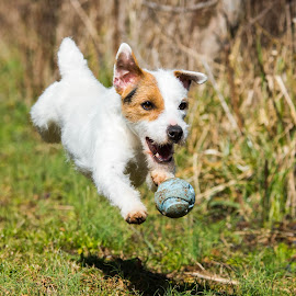 Our Jack Russell Merida by Amy Humphrey - Animals - Dogs Running