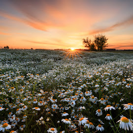 Heřmánek ve svitu slunce by Petr Fiala - Landscapes Prairies, Meadows & Fields