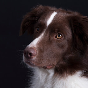 by 'Monique Smit - Animals - Dogs Portraits ( bordercollie, dog, mutt, pet,  )
