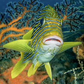 ribbon sweetlips by Peter Schoeman - Animals Fish ( coral, underwater, colorful, bright, fish, plectorhinchus, tropical, underwater photography, wildlife, ocean, beauty, yellow, ribboned sweetlips, photography, swimming, adventure, life, nature, swim, ribbon, striped, closeup, animal, underwater pictures, plectorhinchus polytaenia, marine, water, sweetlips, tropical water, reef, sweetlip, texture, fins, dive, sea, soft, pattern, plectorhynchus, background, scuba, polytaenia, diving )