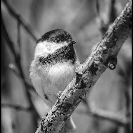 Chickadee by Dave Lipchen - Black & White Animals ( chickadee )