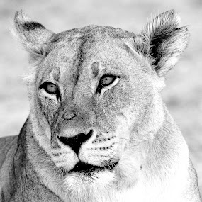 Lioness at Mpaya in Botswana by Lorraine Bettex - Black & White Animals (  )