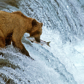 One More Coming by Harry Eggens - Animals Other Mammals ( water, grizzly, brooks river, fish, alaska, brooks falls, image, ursus arctos, brooks camp, brown bear, picture, katmai national park, cascade, fall, fishes, salmon, summer, harry eggens, summertime, nikon, knp, feisol, river )